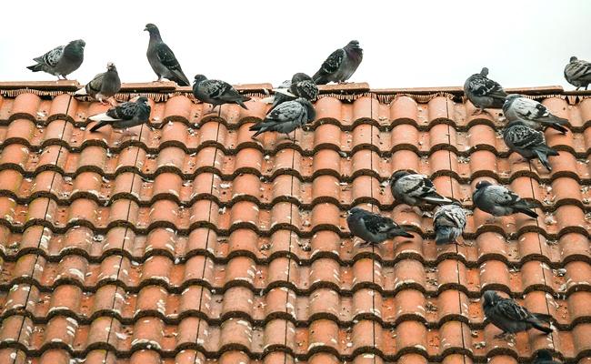 pics anti pigeons caen