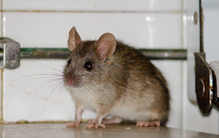 deratisation rat souris